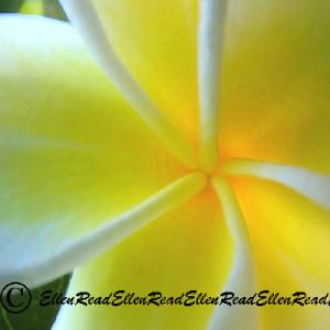 Frangipanni Yellow Spiral