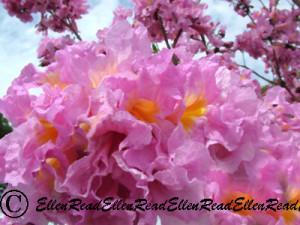Pink Trumpet Flowers
