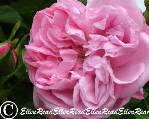 Rose Pink Soft Petals