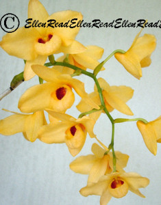 Orchid Yellow Spray