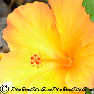 Hibiscus Golden 2