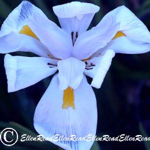 Lily Delicate Mauve