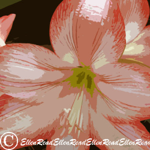Lily Hippeastrum