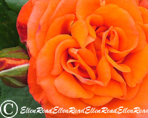 Rose Orange Double
