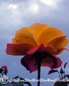 Rose & Sky