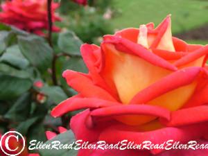 Rose Tangerine & Cream 2
