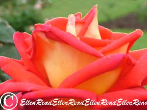 Rose Tangerine & Cream
