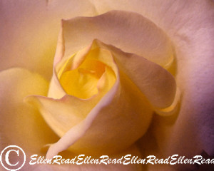 Rose Yellow Heart