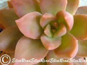 Succulent Bronze 3