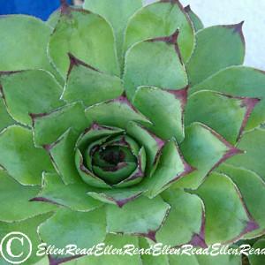 Succulent Mauve Tips