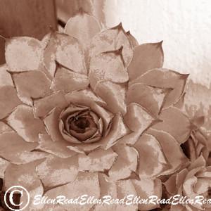 Succulent Sepia
