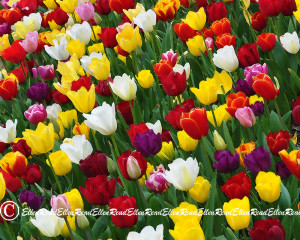 Tulip 02