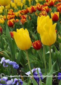 Tulip 03