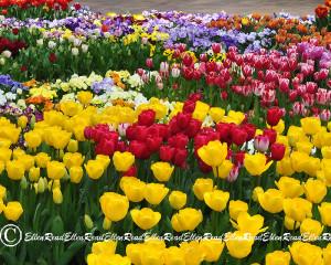 Tulip 04