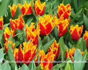 Tulip 05