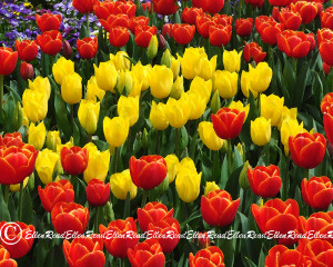 Tulip 06