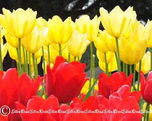 Tulip 07