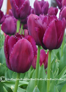 Tulip 09